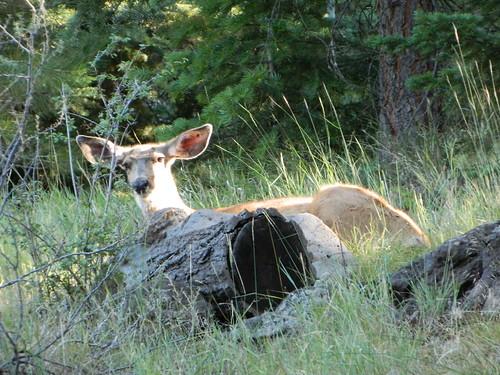 Deer Chillin
