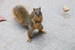98/366/4115 (September 17, 2019) - Fox Squirrels (and a few friends)  in Ann Arbor at the University of Michigan - September 17th, 2019
