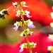 Eastern Carpenter Bee.