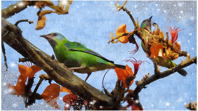 Blue Dacnis in the flowers - explore