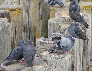 Pigeons at Davis Bay (Sechelt) Fishing pier