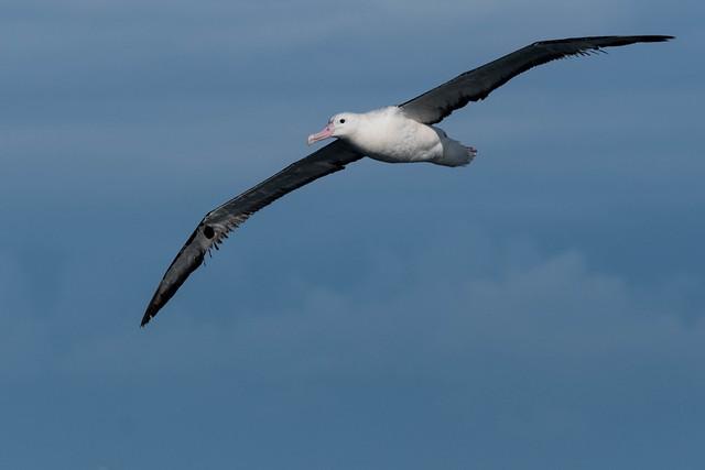 Royal Albatross (Northern) _ Diomedea epomophora sanfordi