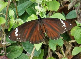 Danaus affinis (Swamp Tiger)