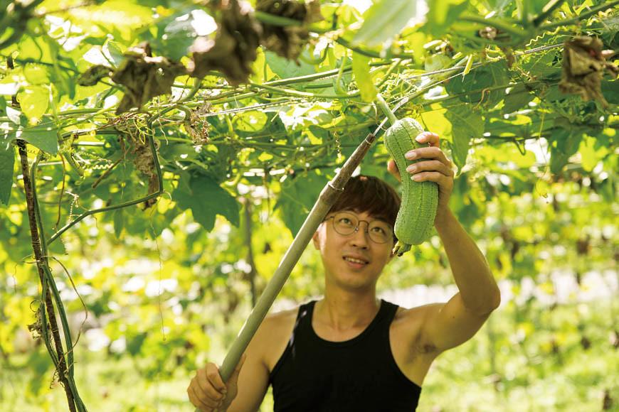 柏叡負責絲瓜園的採收工作。