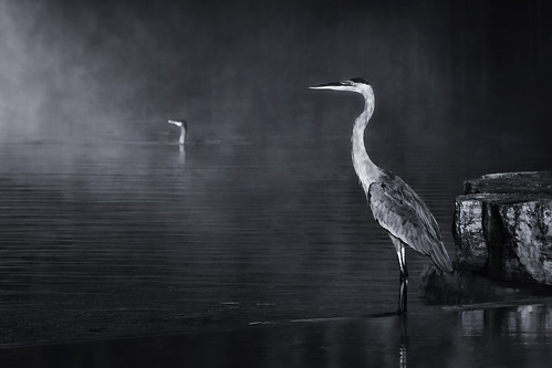 northsidepark wheatonillinois dupagecounty chicagoland birds greatblueheron cormorant wading fishing profile portrait morning mist misty fog foggy mood atmosphere dawn sunrise pond lake water nature outdoors serenity wildlife reflections september latesummer landscape monochrome ripples pair two deuces duo socialdistance socialdistancing mysterious selectivefocus blur bokeh parallelgazes veiled shrouded cloaked darkness firstlight vigil awakening aura transcendence emergence alternatetitles noflymist echoesofenlightenment testforecho doublevision mistyvisions rockpaperscissors rockvaporfeathers nikond7500 sigma18300 photoshopbyfehlfarben thanksbinexo