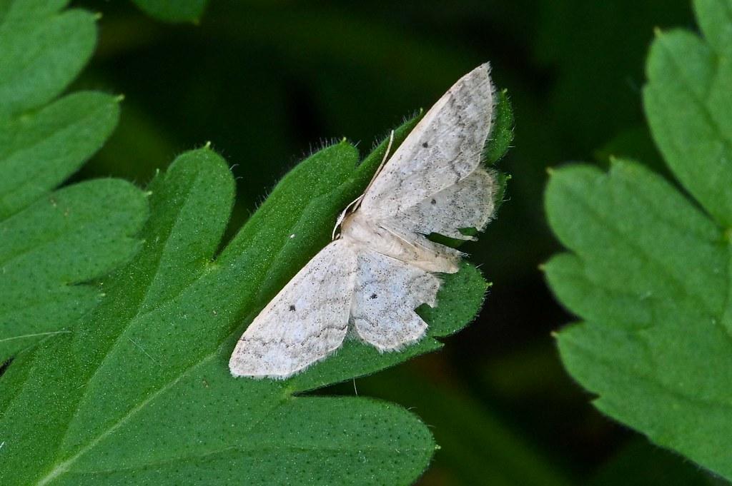 Idaea biselata  --  Moth  --  Papillon nocturne