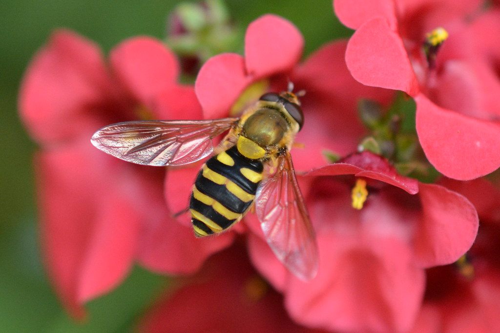 Syrphus Ribesii on Diascia