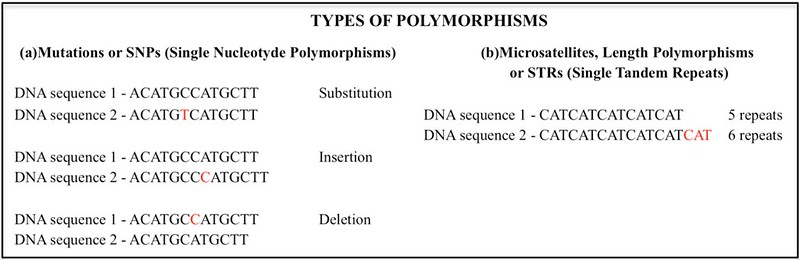 An image demonstrating the different types of DNA polymorphisms