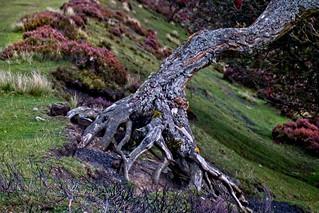 An old knarled tree ..