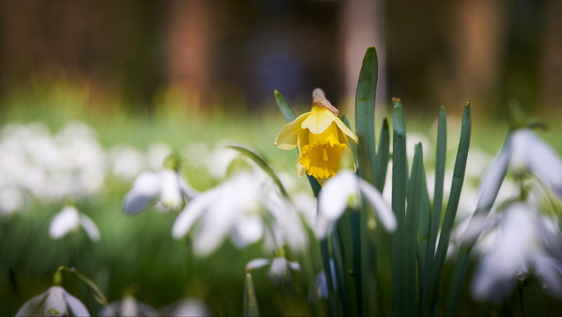Daffodil with snowdrops