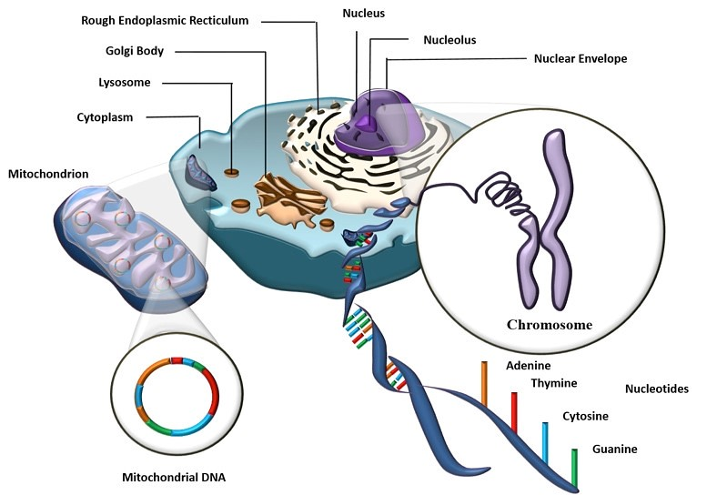 A depiction of DNA in an animal cell