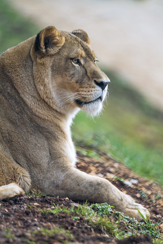 Profile of Timba relaxing | by Tambako the Jaguar