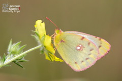 The Eastern Pale Clouded Yellow ♀
