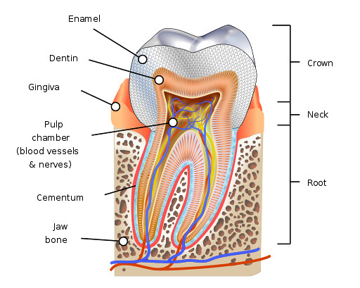 Image showing the different parts of a tooth