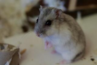 Esculapio the hamster
