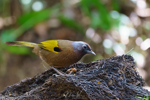 Malay Laughingthrush (Trochalopteron peninsulae) 馬來亞噪鶥