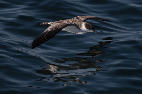 The flight of the shearwater