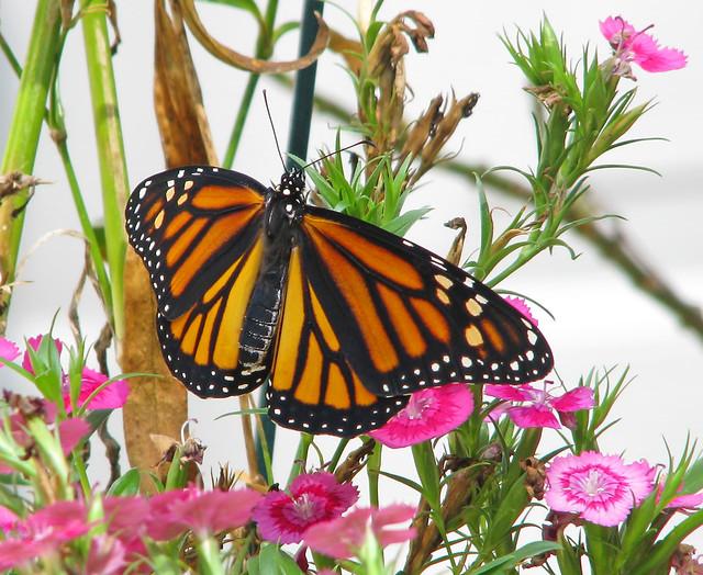 fresh September Monarch - leaving for Mexico