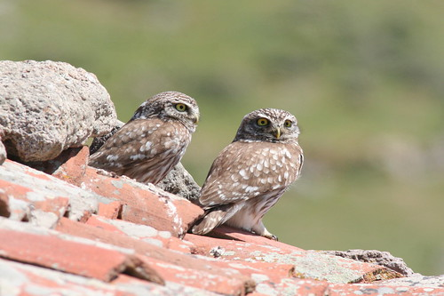 Little Owls (Athene noctua), Antissa Terpandros Windfarm track, Lesvos. 4th May 2008. IMG_8567