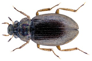 Ochthebius marinus (Payk., 1798)