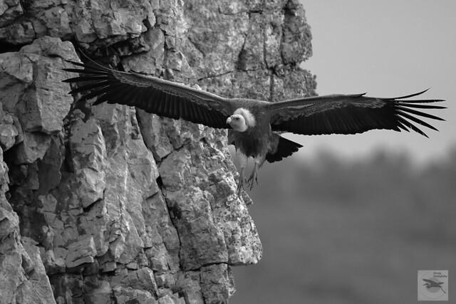 Griffon Vulture (Gyps fulvus) cliffs_B&W_w_5113