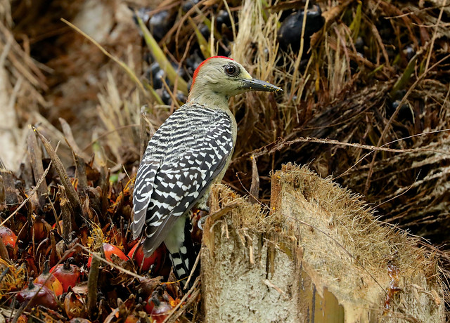 Red-crowned Woodpecker --- Melanerpes rubricapillus