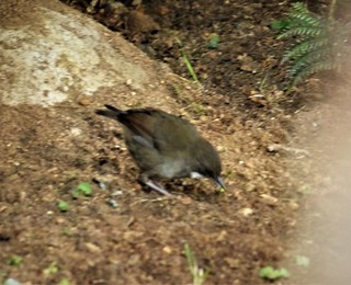 Mountain Mouse-Warbler. Crateroscelis robusta (1)