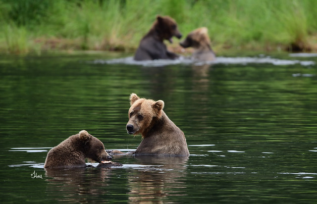 A sow and cub peacefully eating their salmon while two subadults play in the background #bearlife - 3951b+