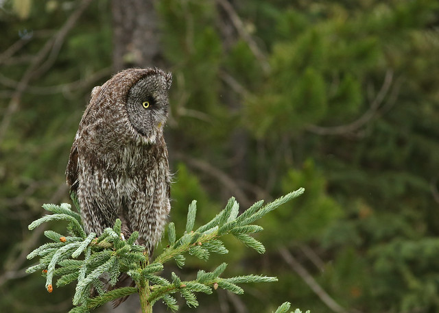 Great Gray Owl...#25