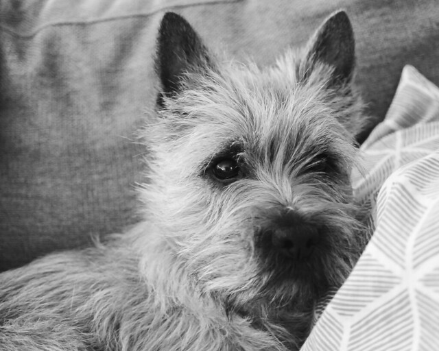 The sofa dog