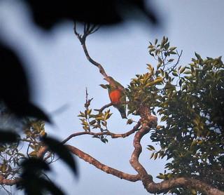 Orange-bellied Fruit-Dove. Ptilinopus iozonus