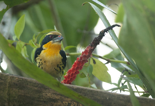 Capito auratus // Gilded Barbet | by Giselle Mangini