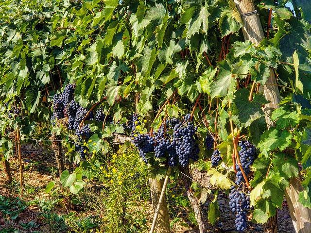 It's harvest time 🍇 . . . #like #follow #share #comment #subscribe #castelnuovodellabate #montalcino #borghettomontalcino #tuscany #tuscanygram #italy #italy #italia #santantimo #valdorcia #travel #travelblogger #travelphotography #travelgram #trav
