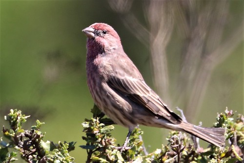 Carpodacus mexicanus House Finch male