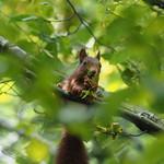 Sa, 31.08.19 - 13:06 - Eichhörnchen  Olympus m.Zuiko 300mm F4.0 PRO handheld