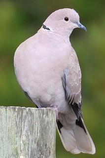 Streptopelia decaocto Eurasian Collared-Dove