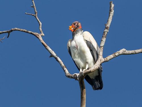 king Vulture/Urubu-rei/Jote real (Sarcoramphus papa)