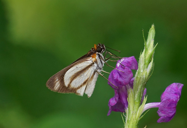 Yellow Fantastic-Skipper --- Vettius marcus