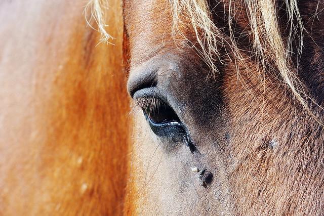 Equus Ferus Eye