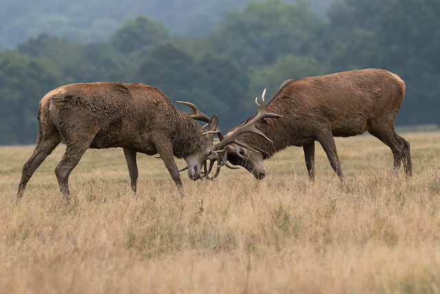 Red-Deer-4378