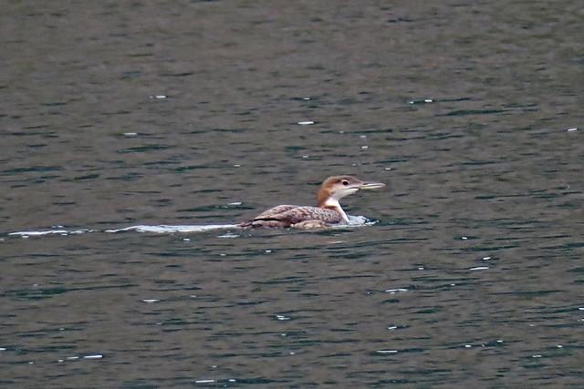Common Loon, Stehekin, WA 9/16/19