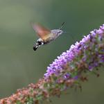 Sa, 24.08.19 - 15:08 - Macroglossum stellatarum hummingbird hawk-moth  Olympus m.Zuiko 300mm F4.0 PRO Supertele-Macro handheld, rather low light (forest shade)