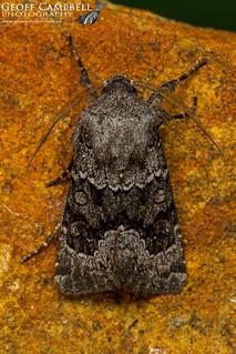 Northern Deep-Brown Dart (Aporophyla lueneburgensis)