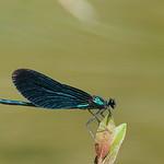 So, 11.08.19 - 15:03 - beautiful demoiselle [Calopteryx virgo]  Olympus m.Zuiko 300mm F4.0 PRO + MC14 Supertele-Macro  Handheld