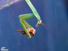 Praying Mantis Eating