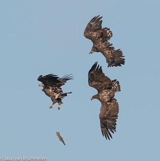 White-tailed Eagles, Zeearenden.