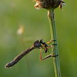 Di, 02.07.19 - 20:10 - Asilidae robber fly, assassin flie  Olympus m.Zuiko 300mm F4.0 PRO Supertele-Macro