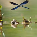 So, 11.08.19 - 14:42 - Blauflügel-Prachtlibelle (m) beautiful demoiselle [Calopteryx virgo]  Olympus m.Zuiko 300mm F4.0 PRO + MC14 Supertele-Macro  Handheld
