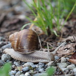 Do, 15.08.19 - 19:47 - Weinbergschnecke Helix pomatia, Roman snail, Burgundy snail, edible snail or escargot (according to Wikipedia)  handheld, maximum magnification