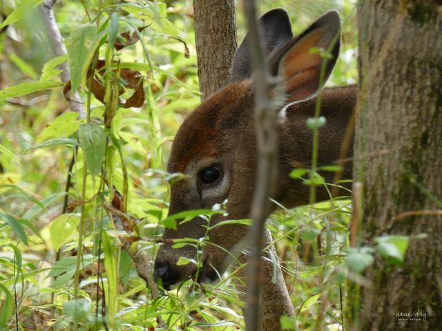 B1-02-20 Cerf de Virginie (Chevreuil) / Odocoileus virginianus / White-tailed Deer